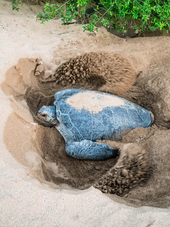 female green turtle nesting itsamia moheli island